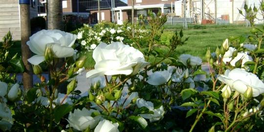 Kleurige voor & achtertuin Horst (7)